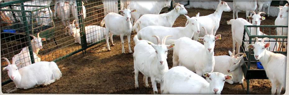 saanen keçinin fiyatı